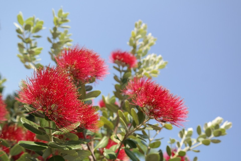 <p>Pōhutukawa are susceptible to myrtle rust</p>