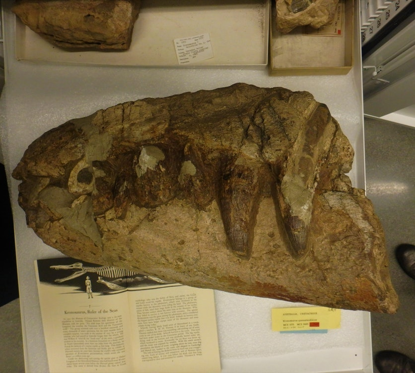 <p>This is the Kronosaurus snout collected by William Scheville from Army Downs in 1932.</p>