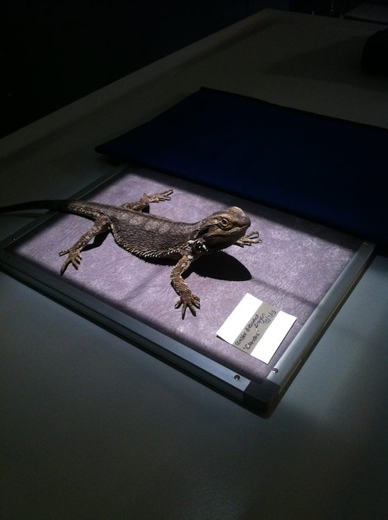 <p>Female bearded dragon being xrayed for eggs</p>