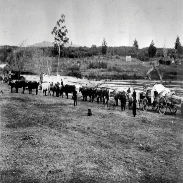 <p>This photo shows timber arriving to build SS Tongariro. Heart kauri was railed south to Putaruru and loaded on to bullock wagons each of which needed 24 bullocls to pull it. While the journey from Putaruru to Taupō is only 90kms, the journey took fourteen days.</p>