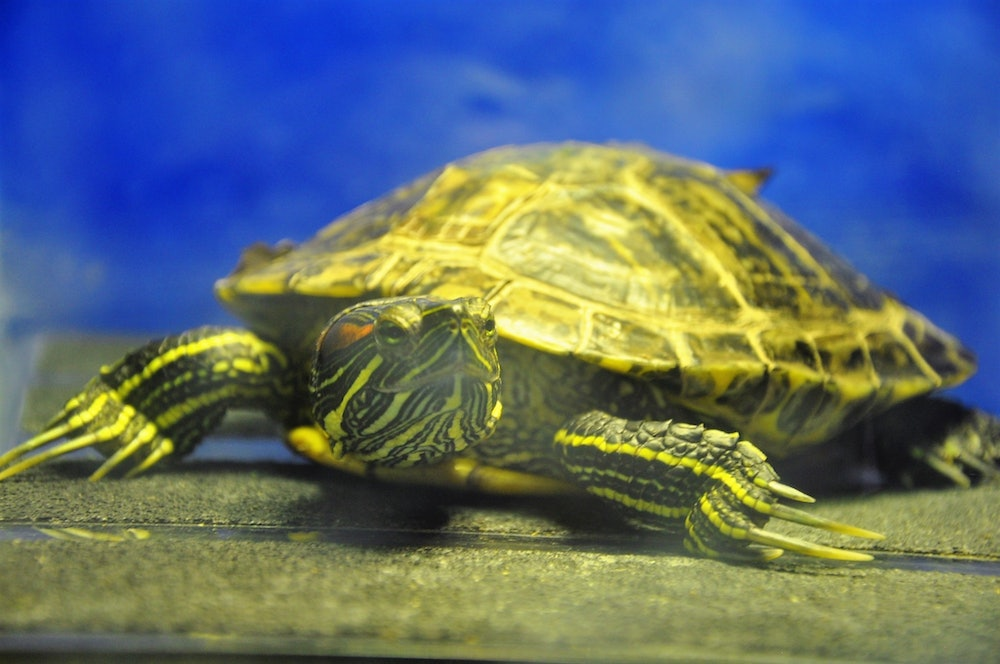 <p>In-residence animals. Pictured is Frankie, a red-eared slider turtle.</p>