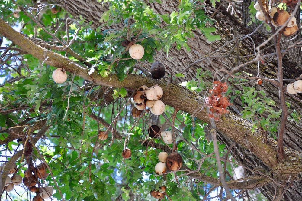 <p>Oak Galls.</p>