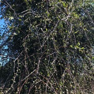 <p>Note the different growth habit near the base of these trees. It's also useful to realise that a juvenile plant can be maintained for a dense, clipped hedge. P. regius is certainly a fascinating example of a divaricate which matures without a twist.</p>
