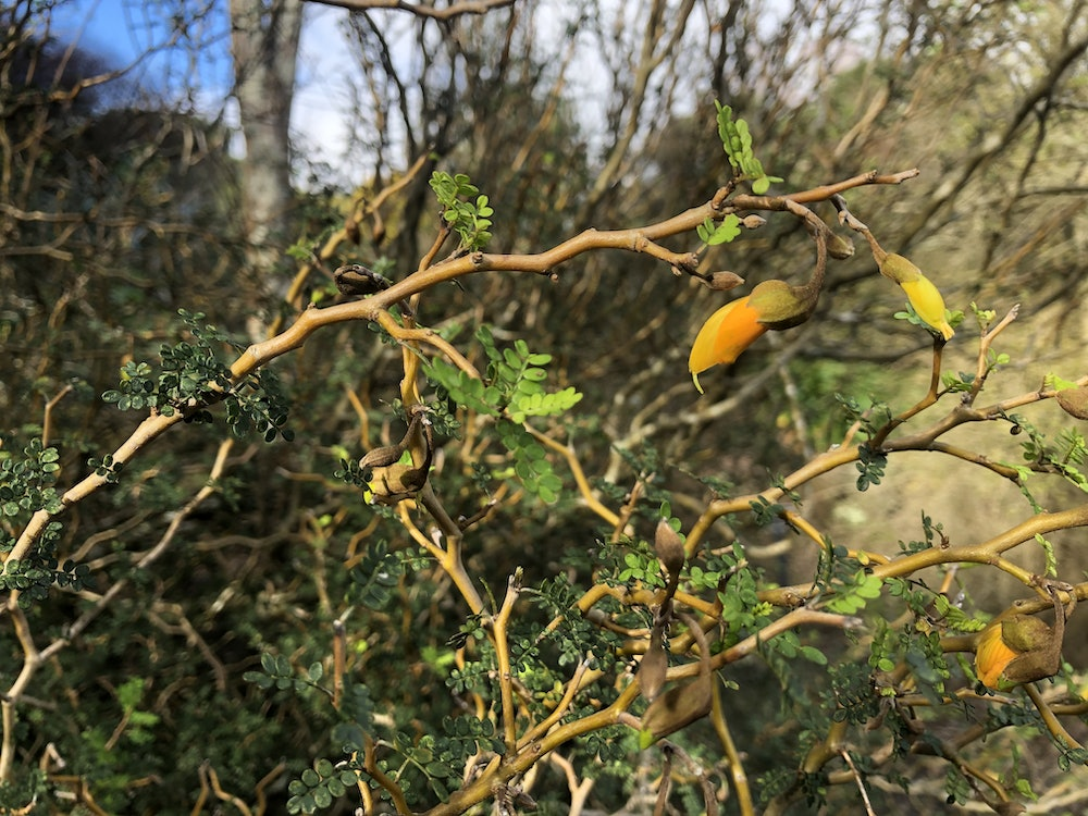<p><strong>Sophora prostrata</strong></p><p>Can you spot the juvenile Sophora prostrata? In contrast to Pittosporum obcordatum with its attractive columnar form and small flowers, Sophora are seasonally high flowering and often considered New Zealand's national flower. (Swipe slowly)</p>