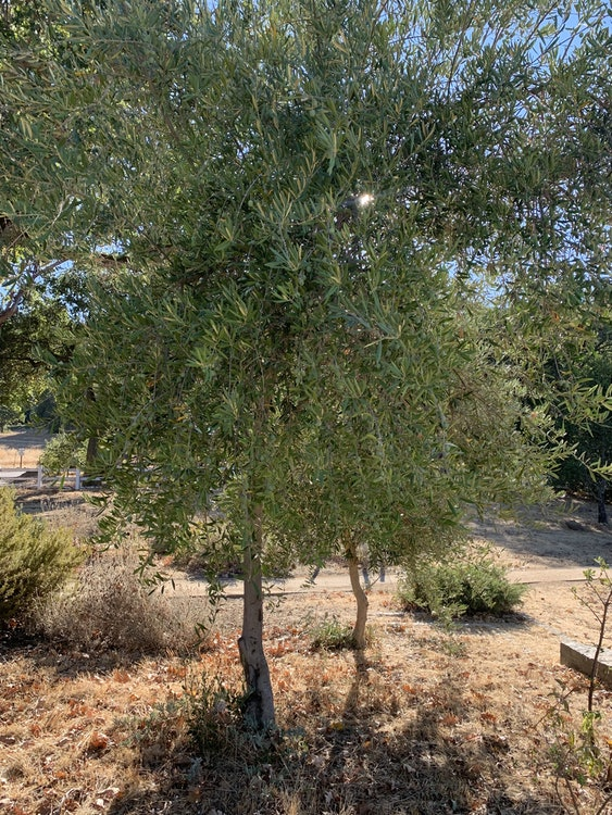 <p>European Olive tree.</p>