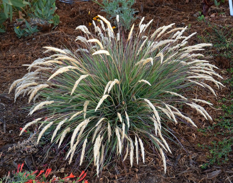<p>Leafy Reedgrass.</p>