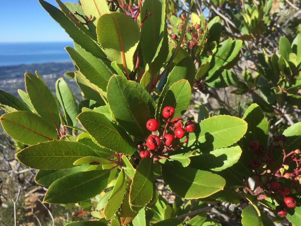 <p>Toyon shrub.</p>