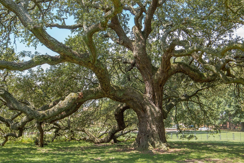 <p>Emancipation Oak</p>