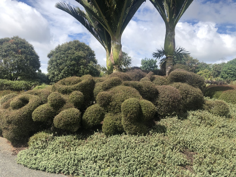<p><strong>Muehlenbeckia astonii</strong></p><p>Reaching the end of the pavers, you will see curiously toparied forms of Muehlenbeckia astonii.</p><p>M.astonii adapts to its environment and, as you can see, we have adapted it to our environment here by showcasing it cut into different shapes.</p><p>You will notice, in contrast to the woolly mass of hedgerows along Pacific Pathway, the clean, crisp walls of M.astonii fashioning a more formal, albeit fun quality.</p>