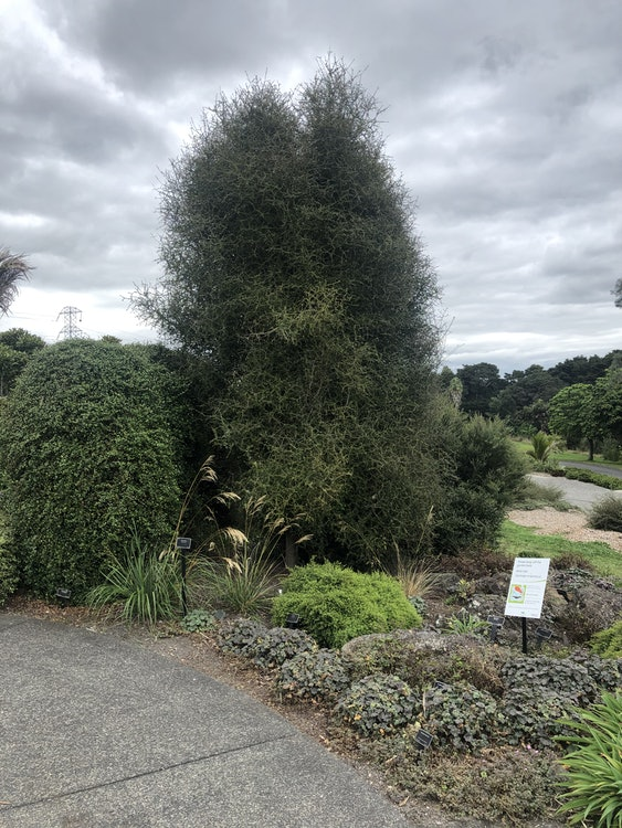 <p>Here is a fine example of P. obcordatum.</p><p>See how this Pittosporum grows naturally into a tall, column-like tree. It's quite slow growing so very little pruning is needed. It will continue to grow like this for about 5-8 meters in height, forming quite a tidy column.</p><p>Reaching the central, circular path, veer left and immediately turn left again, stepping onto the concrete pavers. One, two, three, four pavers, then look across to your left.</p>