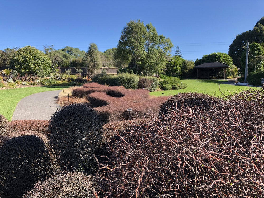 <p><strong>Muehlenbeckia astonii</strong></p><p>Ascend the wooden stairs to the platform and looking out over the garden, take in the array of interesting native plantings. The sculptural forms encasing this platform highlight the zigzag arrangement of M. astonii and how it lends itself to being clipped and shaped.</p>
